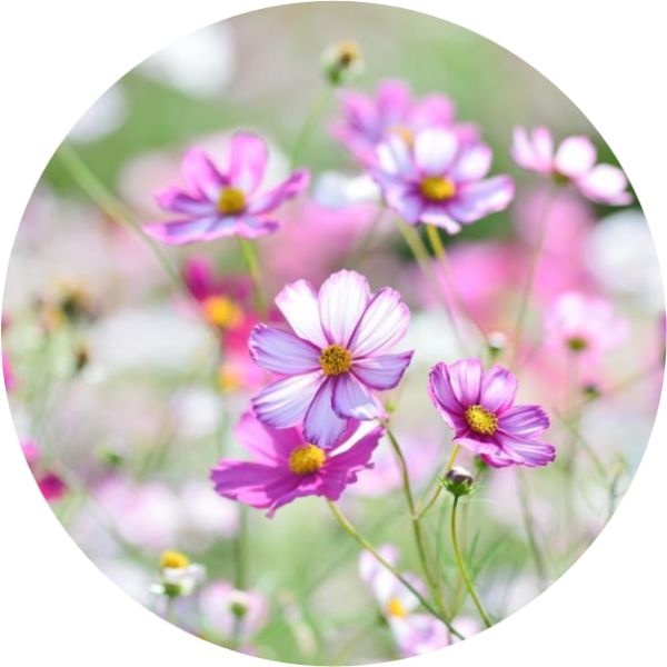 cosmos, bees, butterfly, plant, seed bomb, seed sensations