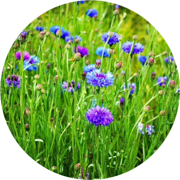 cornflowers, seed bombs, seed, winter flower, seed ball
